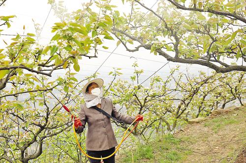 山门口村万亩梨园的果农,针对梨树花期将过,陆续长出幼果的情况,抢抓