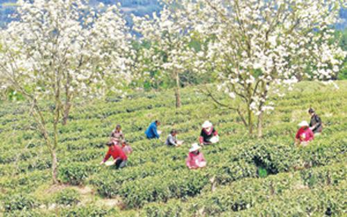 4月10日,四川南江县下两镇黄坪村村民在生态茶园采摘茶叶.